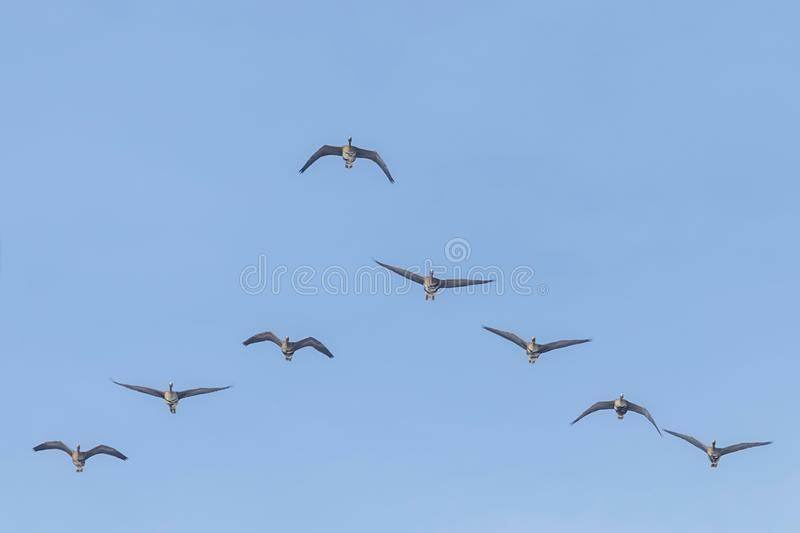 Vloot van Greater White Fronted Gese Flying in V formation, Blue Sky royalty-vrije stock foto
