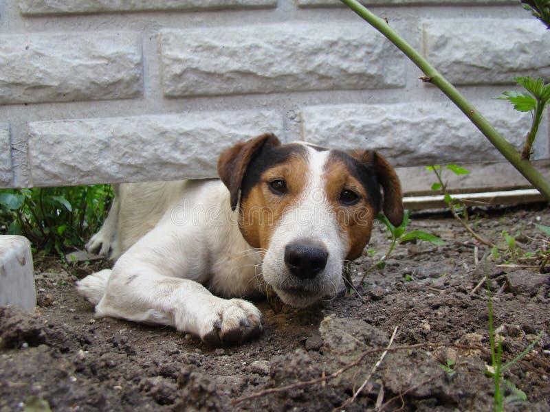 Vlotte fox-terrier royalty-vrije stock foto's