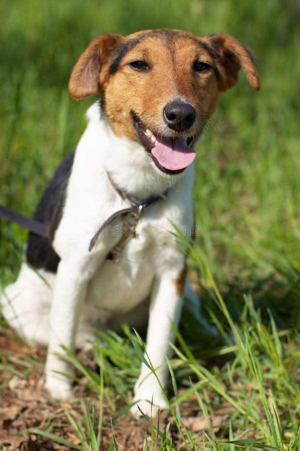 (Vlotte) fox-terrier stock foto's