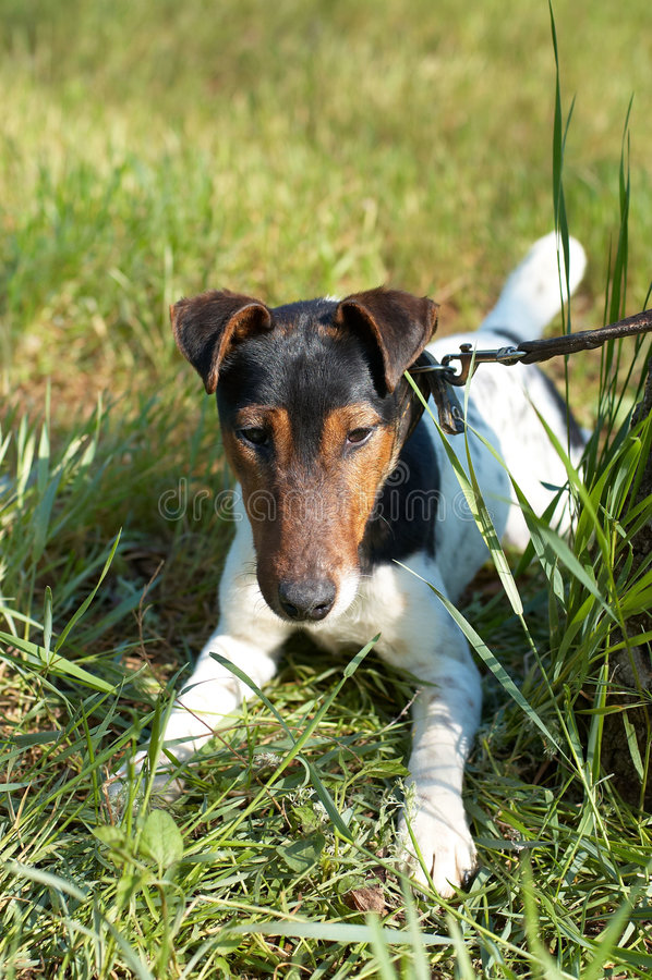 (Vlotte) fox-terrier royalty-vrije stock fotografie