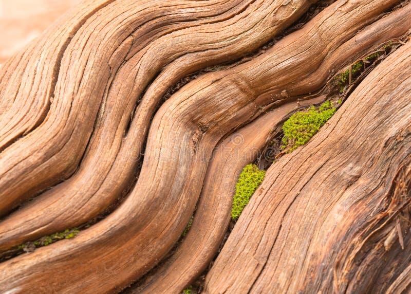 Vlotte versleten wortel met mos het groeien in barst stock foto
