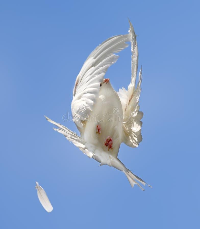 Vlucht van de witte duif stock afbeelding