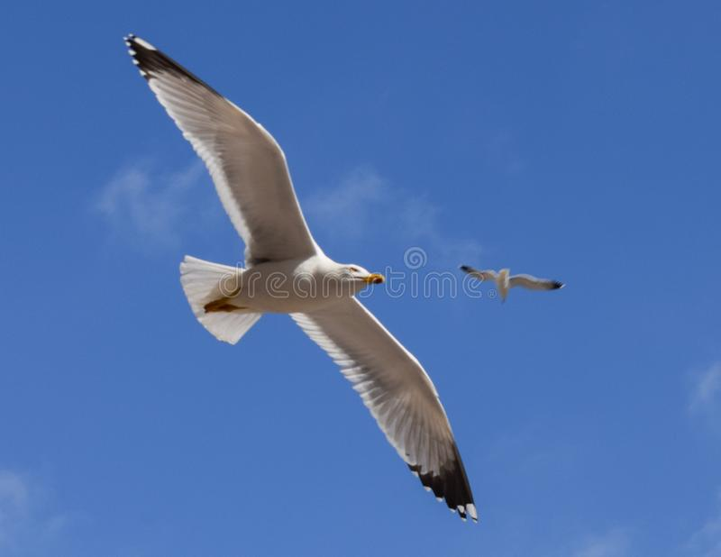 Vlucht van een zeemeeuw op een blauwe hemel royalty-vrije stock foto