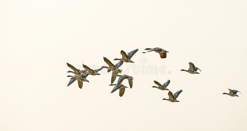 Vlucht van ganzen die in de hemel vliegen royalty-vrije stock foto's