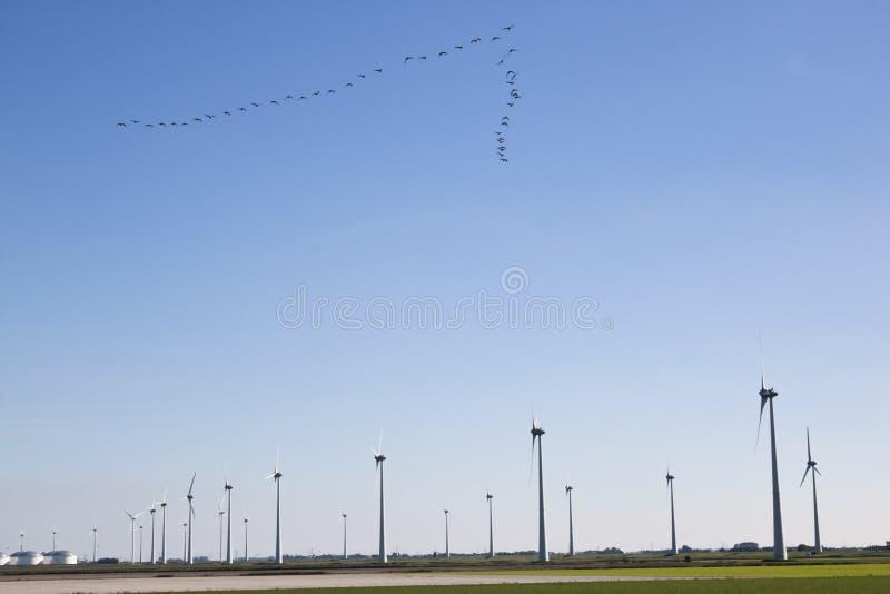Vlucht van ganzen en windmolens in Nederlands landschap stock foto's