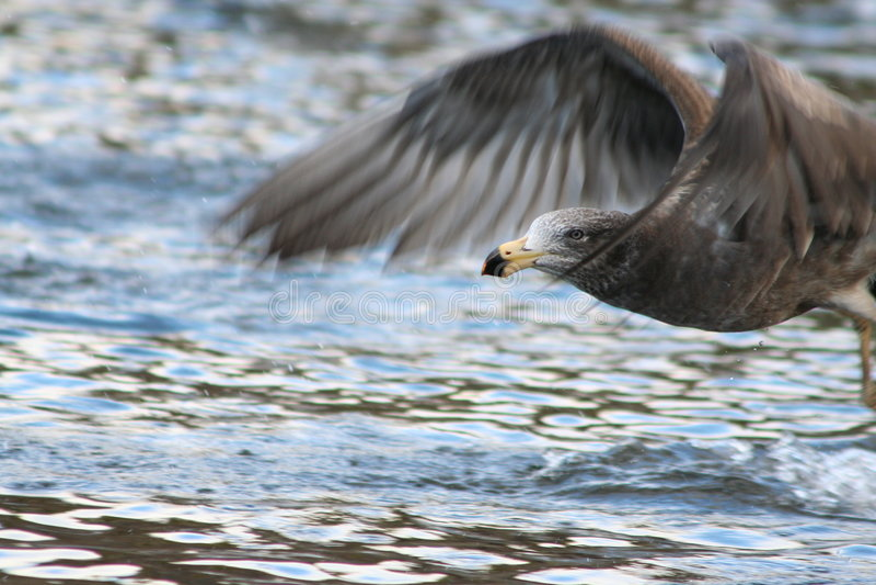 Vlucht van zeemeeuw stock afbeelding