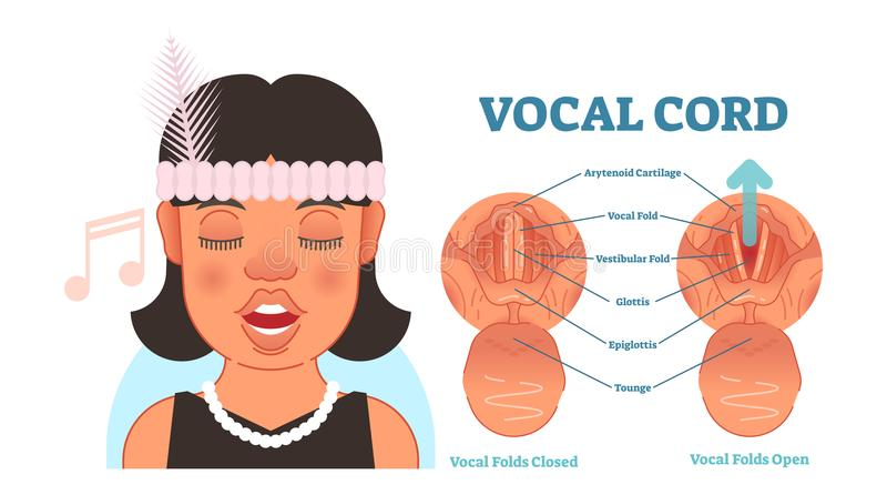 Vocal cord anatomy vector illustration diagram, educational medical scheme. Vocal cord anatomy vector illustration diagram, educational medical scheme with stock illustration