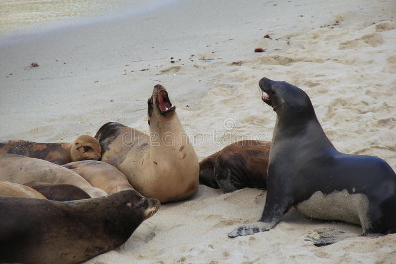 Vocal Sea Lions gathered together on the edge of ocean beach. Interesting image of several Sea Lions gathered on the edge of the beach, some of them engaged in stock image