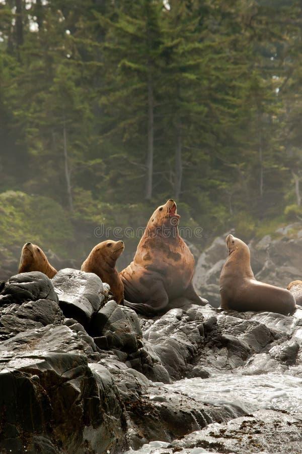 Vocalizing Male Sea Lion