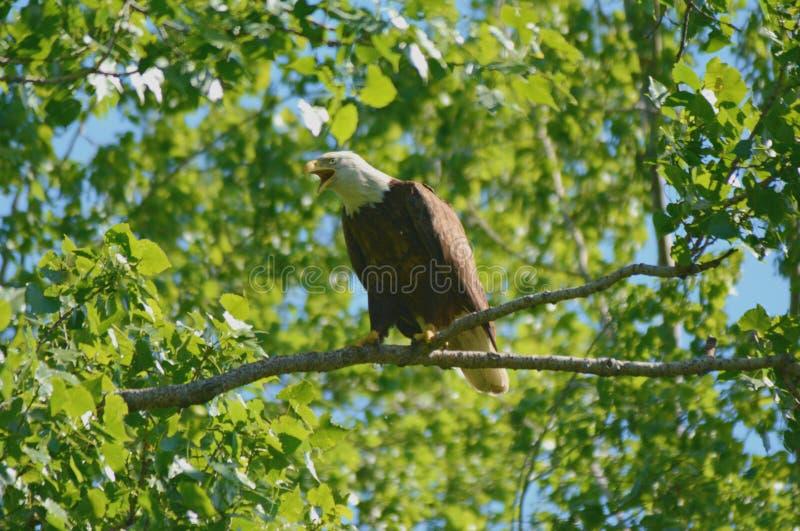Vocalizing vuxna skalliga Eagle royaltyfri fotografi