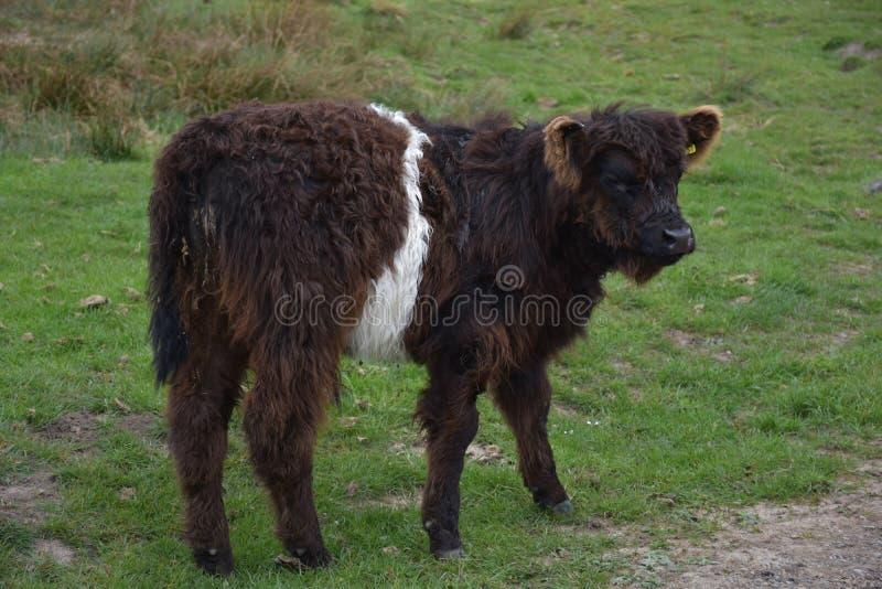 Vochtig Shaggy Belted Galloway Calf Standing omhoog royalty-vrije stock fotografie