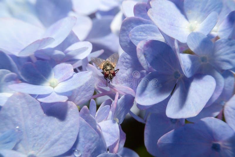 Voe guardando sobre a flor violeta com fim acima de vista detalhada fotografia de stock royalty free