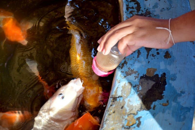 Voed de vissen in de vijver stock fotografie