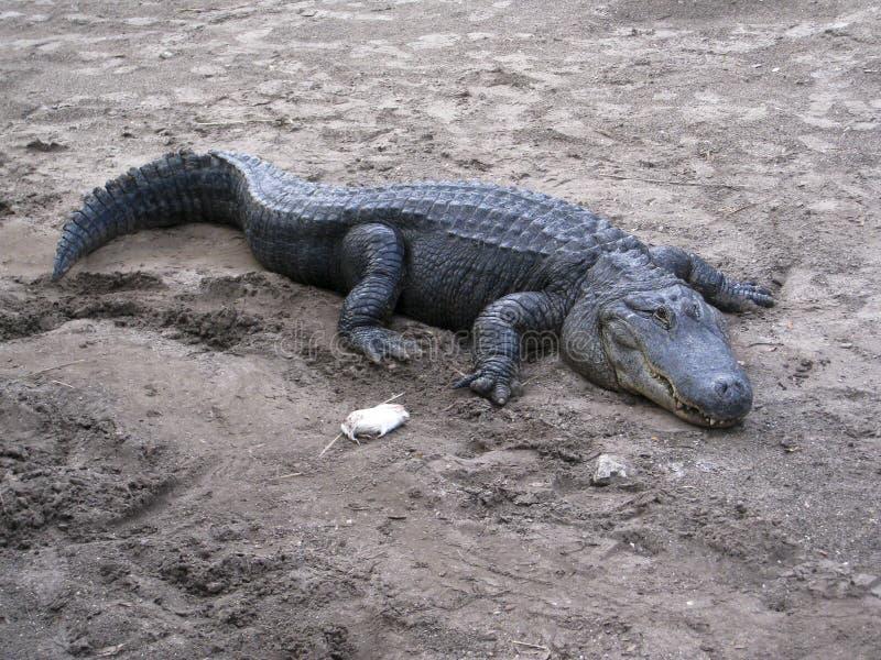 Voedend Amerikaanse Krokodil - crocodylusacutus. royalty-vrije stock foto's