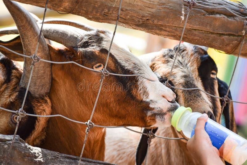 Voedend melk een geit stock foto's