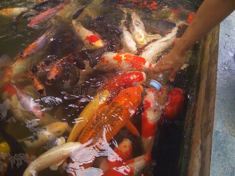Voedende buitensporige karpervissen royalty-vrije stock fotografie