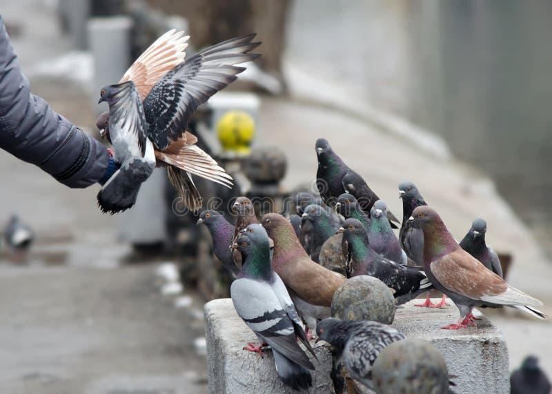 Voedende duiven met zijn handen royalty-vrije stock foto's