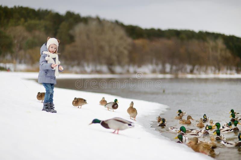 Voedende eenden bij de winter royalty-vrije stock foto