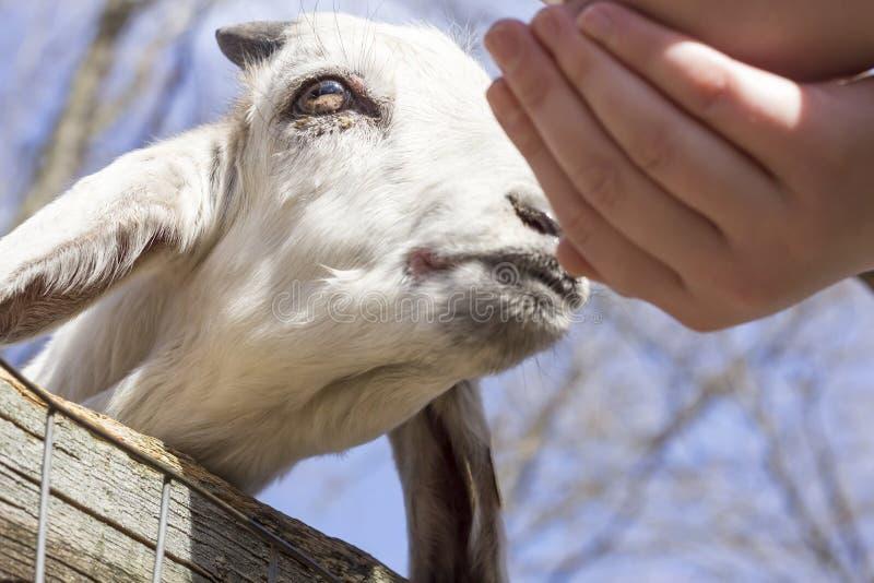 Download Voedende geit stock afbeelding. Afbeelding bestaande uit eating - 54091767