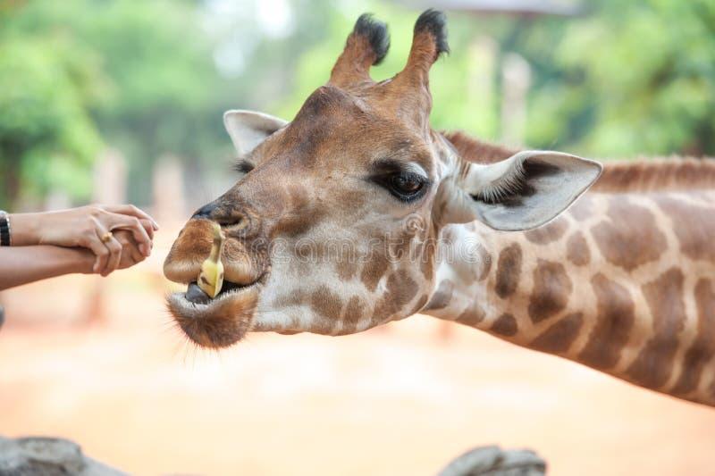 Voedende giraf stock foto