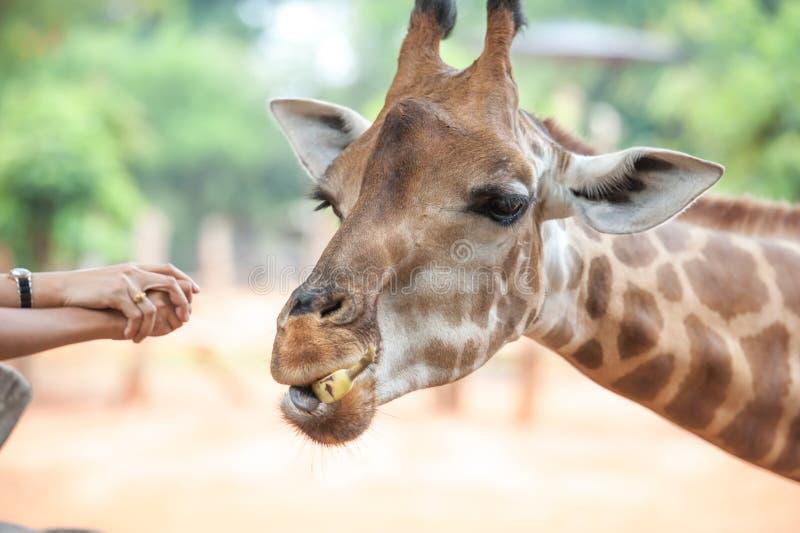 Voedende giraf royalty-vrije stock fotografie