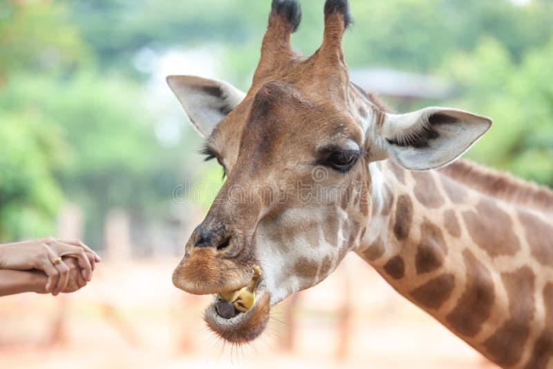 Voedende giraf royalty-vrije stock afbeelding