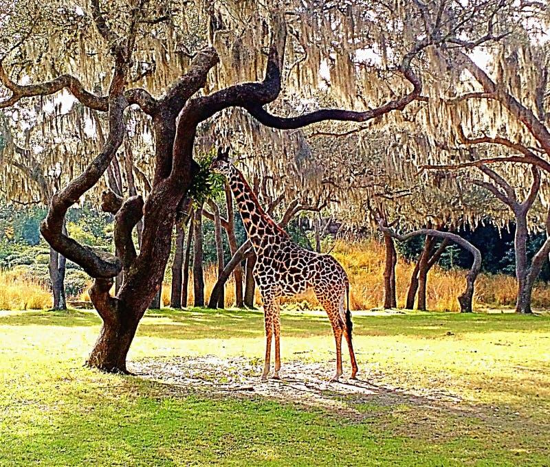 Voedende giraf stock foto's