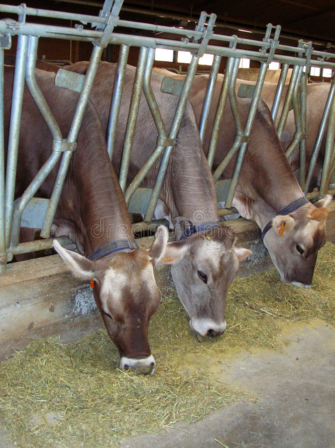 Voedende koeien royalty-vrije stock foto's