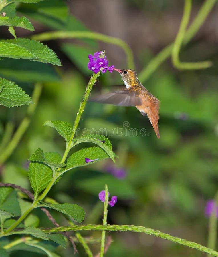 Voedende Kolibrie Amazilia royalty-vrije stock foto's
