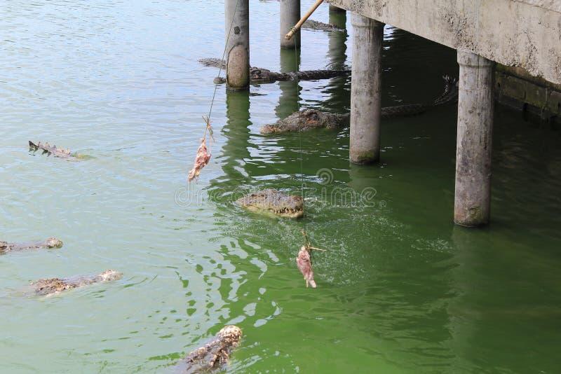 Voedende krokodillen in het water royalty-vrije stock afbeeldingen