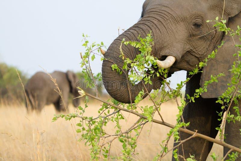 Voedende olifantskoe stock afbeelding