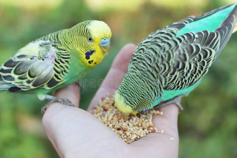 Voedende parkietvogels van hand stock foto's