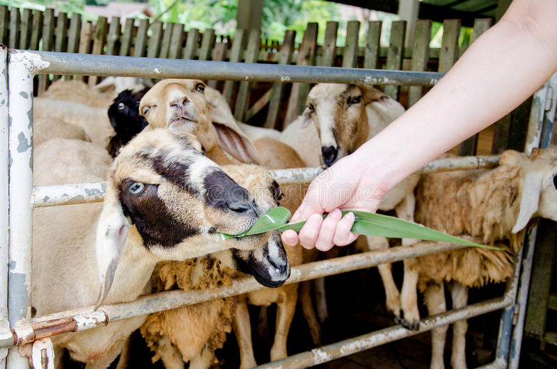 Voedende schapen met gras in het schapenlandbouwbedrijf stock afbeeldingen