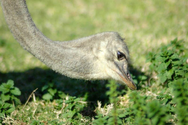 Voedende struisvogel royalty-vrije stock foto