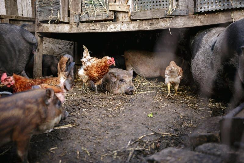 Voedende Vietnamese varkens en kippen op het landbouwbedrijf stock foto's