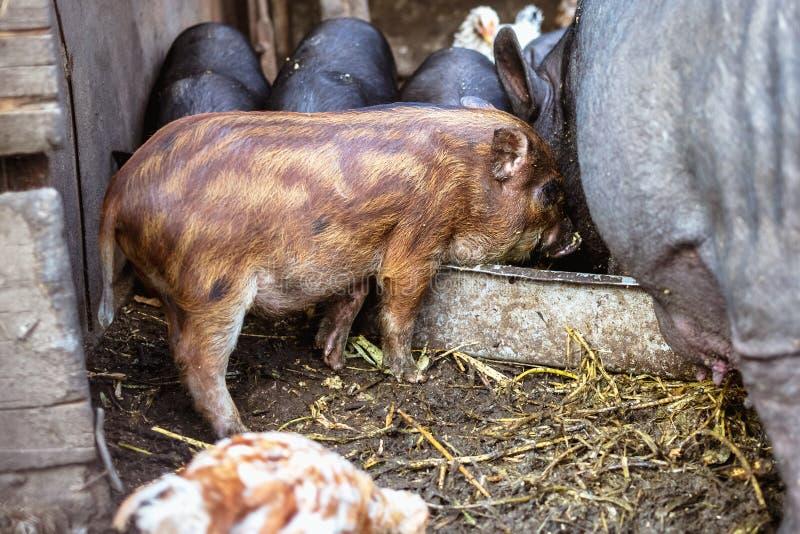 Voedende Vietnamese varkens en kippen op het landbouwbedrijf stock foto