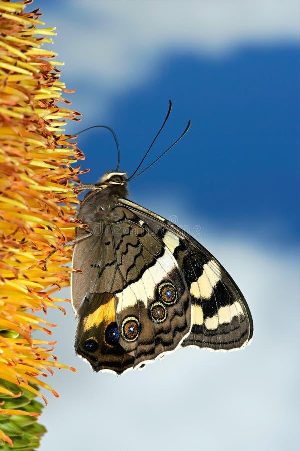 Voedende vlinder stock afbeelding