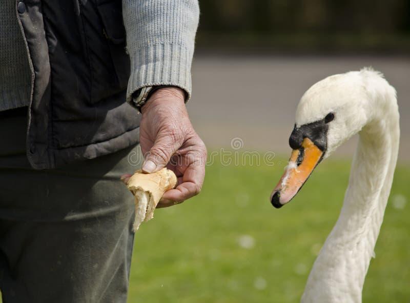 Voedende zwaan het voeden hand stock afbeeldingen