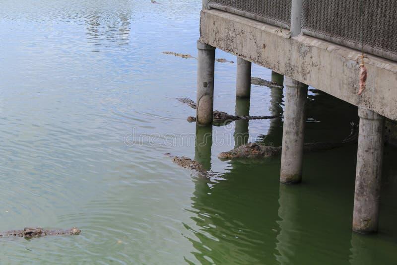 Voedsel voor krokodillen stock foto