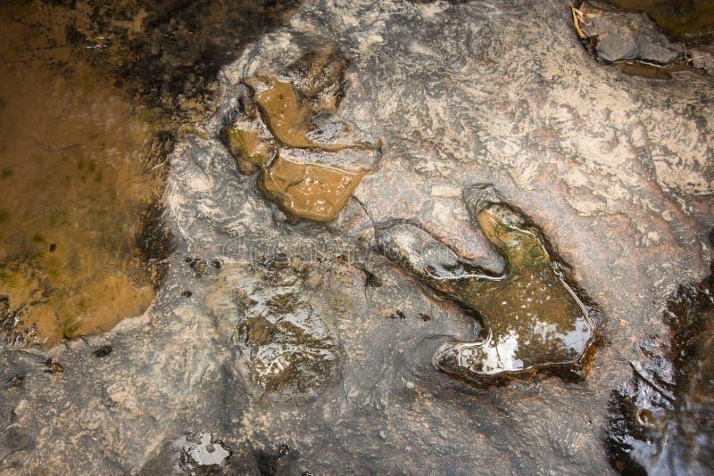 Voetafdruk van dinosaurus Carnotaurus op grond dichtbij stroom bij het nationale bospark van Phu Faek, Kalasin, Thailand Het prog stock afbeeldingen