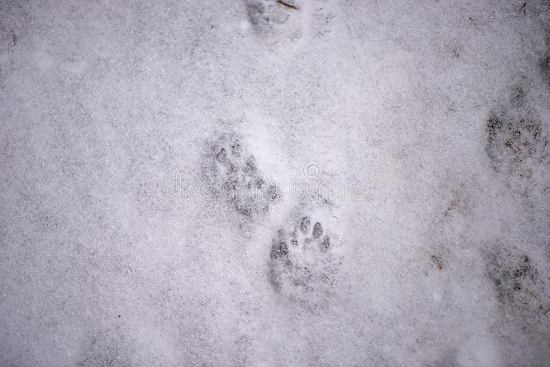 Voetafdrukken in de sneeuw Vingerafdruk van katten Poten van een dier De achtergrond van de winter afdrukpoten stock afbeeldingen