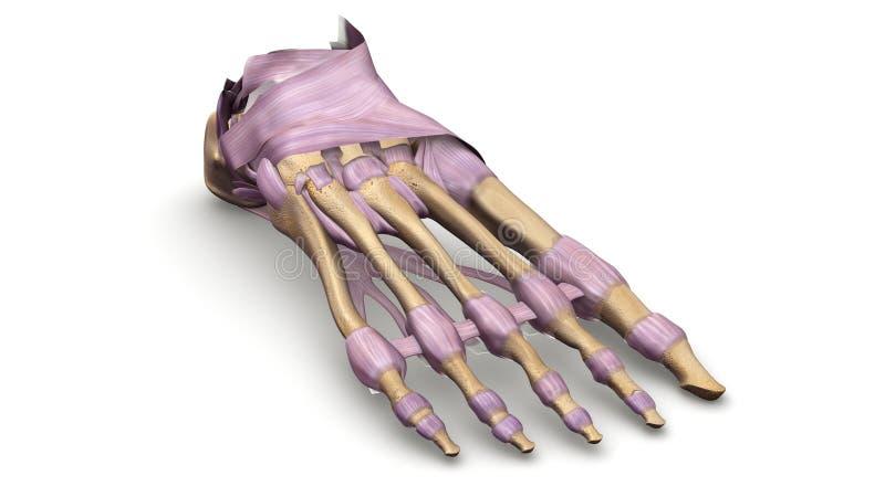 Voetbeenderen met de mening van het Ligamentenperspectief royalty-vrije illustratie