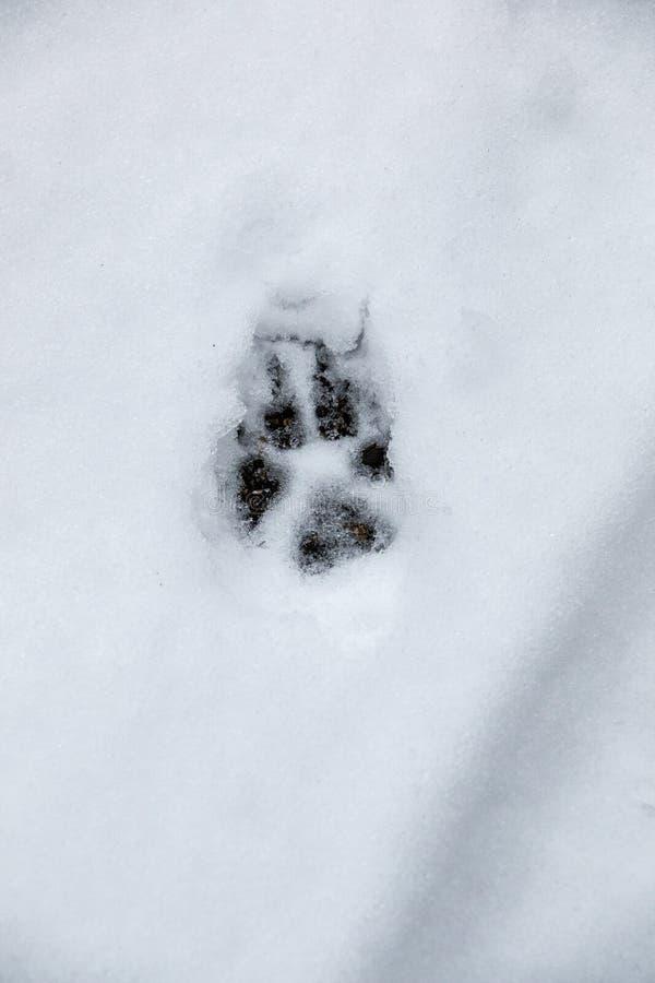 Voetdruk van een hond of een wolf op de witte sneeuw stock fotografie