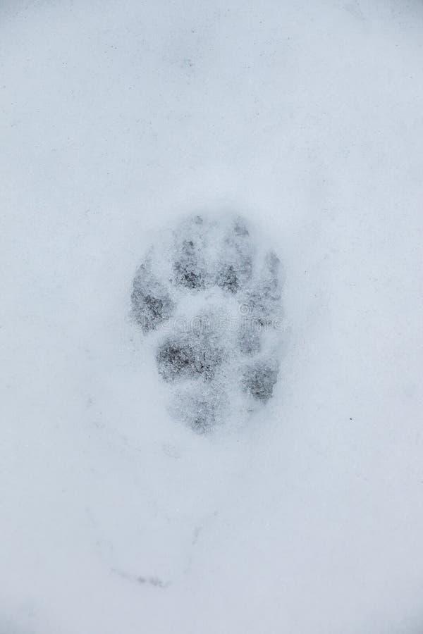 Voetdruk van een hond of een wolf op de witte sneeuw royalty-vrije stock foto's