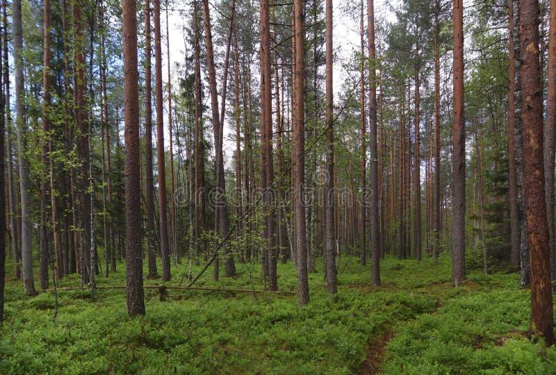 Voetpad in een pijnboombos, heel wat groen ter plaatse, rechte boomstammen van pijnboombomen, de zomer royalty-vrije stock fotografie
