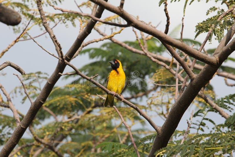 Vogel in Äthiopien lizenzfreie stockbilder