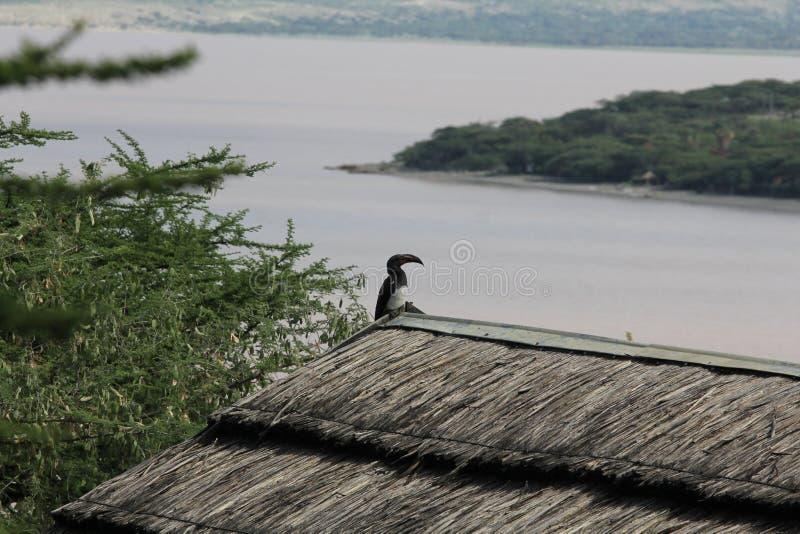 Vogel in Äthiopien stockbilder