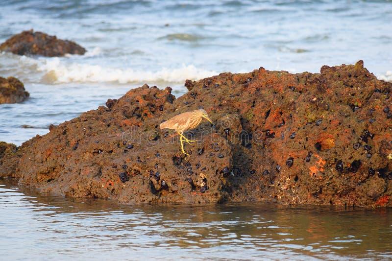 Vogel auf der Suche nach Lebensmittel - indischer Teich-Reiher - Ardeola Grayii stockfotografie