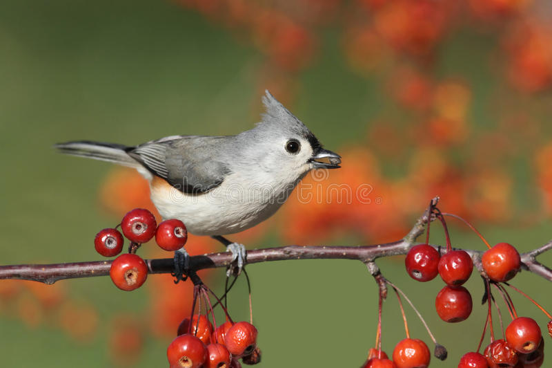 Vogel auf einer Stange mit Kirschen stockfoto