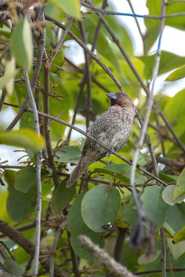 Vogel auf Niederlassungen von Bäumen, Spezies (Muskatamadine; Lonchu lizenzfreies stockbild
